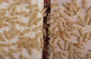Termite Inspections (WDO)