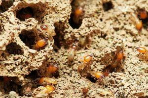 4 Types of Termites